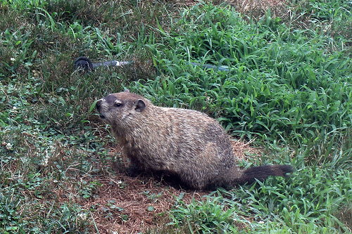 Groundhog Day Survey: More Likely to Follow Coverage This Year